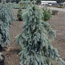 Picea pungens 'Ice Floe'