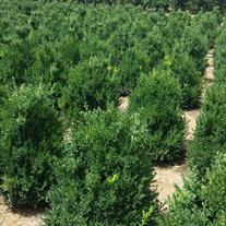 Buxus sempervirens (Photo: Eshraghi Nursery)