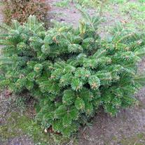 Abies amabilis 'Spreading Star'