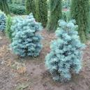 Abies concolor 'Dwarf Blue'
