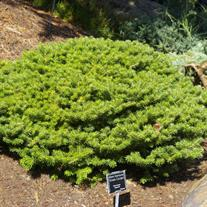 Abies koreana 'Green Carpet' (Green Carpet Korean Fir)
