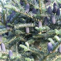 Abies koreana Prostrate Beauty