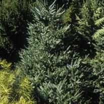 Abies koreana 'Silberlocke' (Korean Fir)