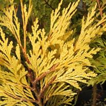 Calocedrus decurrens 'Berrima Gold' (Incense Cedar)