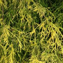 Outstanding Qualities  This hardy evergreen conifer forms a delicate, golden lacey mound in the garden. The new growth emerges bright golden yellow and holds the color throughout the growing season before gradually fading in autumn. Older foliage provides a dark green contrast, drawing attention to the thread-like golden new growth. The graceful mounding habit creates a waterfall-like effect and looks lovely when combined with boulders and in rockeries. Once established it is surprisingly drought tolerant