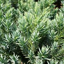 Juniperus squamata 'Blue Star' (Flaky Juniper or Singleseed Juniper)