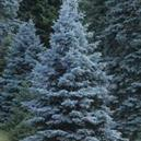 Picea pungens 'Blue Select'